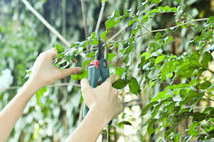 Pruning shears being used to trim small maple tree